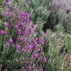 wild scottish heather